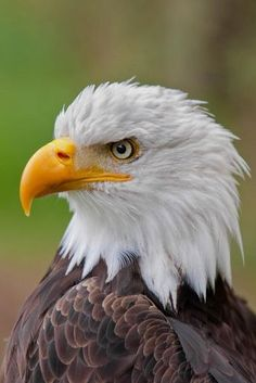 Eagle Totem, Eagle Art, Colorful Animals, Nature Animals, Eagle Pictures, Eagle Feathers, Rock Painting Designs, American Symbols, Majestic Animals