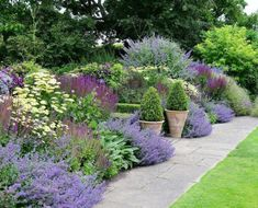 A beautiful purple border with accents of yellow and green. Amazing pairinhs of salvia, buxus and lamb's ear