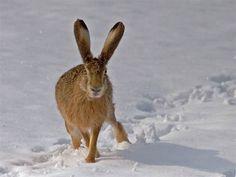 88. Hare in Winter