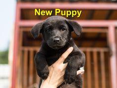 New Puppy - Champion Wood Animal Hospital Wood Animal, New Puppy, Labrador Retriever, Champion, Puppies, Pets, Animals, Animals And Pets, Animales