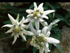 Edelweiss flowers are mountain flowers that grow at high altitudes in Germany and are a protected flower. This article touches on the history of the Edelweiss flowers and how to grow them yourself. Fruit Flowers, Planting Flowers, Rhododendron, The Tiny Seed, Death On The Nile, Cool Pictures, Funny Pictures, Edelweiss, Alpine Plants