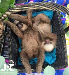 Basket Sloths (Jaguar Rescue Center) #aww #Cutesloths #sloths #boopthesnoot #cuddle #fluffy #animals #aww #socute #puppy #bestfriend #itssofluffy