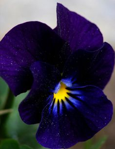 Midnight blue pansy