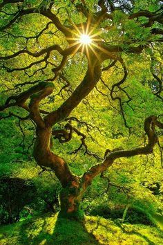 I enlarged this stunning gnarly old tree full of thin green and yellow leaves expecting to find an artist signature. This photo of the sun shining through the top curly branches with many star rays of white gold looks so perfect that I was sure it was an art piece on canvas. Great photography composition. -DdO:) http://www.pinterest.com/DianaDeeOsborne/great-photo-compositions