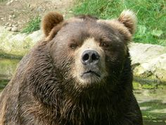 Don't think about.  Grizzly bear