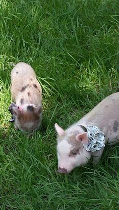 I freakin love pigs!!
