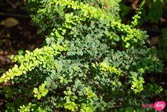rośliny do cienia Bonsai, Diy And Crafts, Pergola, Herbs, Sad, Gardening, Bonsai Trees, Garten, Bonsai Plants