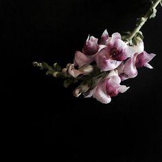 Snapdragon Growing Flowers, December, Instagram Posts, Plants, Flora, Plant, Planting