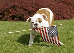 30 Patriotic Dogs Celebrating The 4th Of July [PICTURES] Cat And Dog Videos, National Animal, Funny Cats And Dogs, Pet Safe, Bulldog Puppies, Pitbull Terrier, Dog Pictures, American Flag, Fur Babies