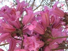 flor del lapacho rosado
