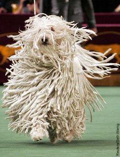 Hungarian Komondor Puppy Pictures