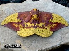 Imperial moth   Butterflies and Moths of North America   collecting and sharing data about Lepidoptera