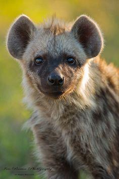 (via 500px / Young Hyena by Iris Braun)