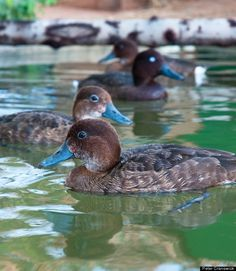 Scientific Name: Aythya innotata   Common Name: Madagascar Pochard   Category: Bird   Population: Approximately 20 mature individuals   Threats To Survival: Habitat degradation due to slash-and-burn agriculture, hunting, and fishing / introduced fish