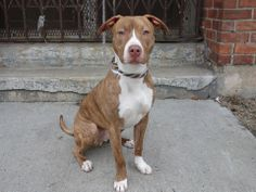 SAFE --- URGENT - Brooklyn Center   KENNY - A0989506   MALE, BR BRINDLE / WHITE, PIT BULL MIX, 1 yr, 4 mos  STRAY - STRAY WAIT, NO HOLD Reason STRAY  Intake condition NONE Intake Date 01/13/2014, From NY 11367, DueOut Date 01/16/2014 https://www.facebook.com/photo.php?fbid=742868849059330&set=a.742868789059336.1073742862.152876678058553&type=3&theater