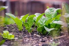 Growing organic spinach is easy! Learn how to grow spinach in your garden so you can grow this cool-weather crop year-round! Vegetable Garden For Beginners, Gardening For Beginners, Gardening Tips, Allotment Gardening, Vegetable Gardening, Leaf Vegetable, Fast Growing Vegetables, Growing Herbs, Hydroponic Farming