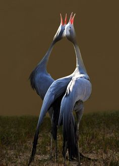 Mated for life. Blue Cranes at the International Crane Foundation, Baraboo, WI. ariseandrejoice@deviantArt