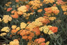 yarrow Achillea 'Terracotta':Position: full sun Soil: moist, well-drained Rate of growth: average Flowering period: June to September Hardiness: fully hardy