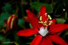 Lebih menonjolkan  pistilumnya.  Passiflora cantik ini.