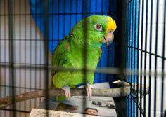 Uno dei quattro pappagalli salvati insieme a circa un centinaia di cani da un allevamento illegale a Stanley, Virginia, Stati Uniti (AP Photo/The Daily News-Record, Jason Lenhart) http://www.ilpost.it/2014/07/12/weekly-beasts-72/animali-18/