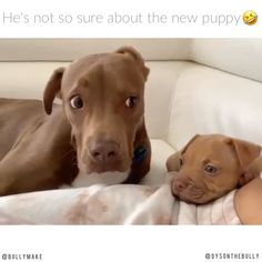 Pitbull Unsure of New Sibling Er ist nicht sicher, ob es sein Welpe ist. The post Pitbull Unsure of New Sibling appeared first on Welcome! Funny Animal Videos, Cute Funny Animals, Funny Animal Pictures, Cute Baby Animals, Animal Memes, Dog Pictures, Funny Dogs, Animals And Pets, Dog Videos