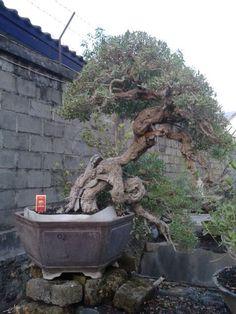 massive old bonsai