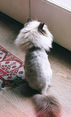 Persian Cat Haircut 50 Cats With Lion Haircuts-omg Emma would have to be sedated in order to pull this off! But I wanna do this! Cat Lion Cut, Cut Cat, I Love Cats, Crazy Cats, Cool Cats, Cat Haircut, Gatos Cool, British Short Hair, Himalayan Cat