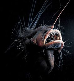 Deep sea angler fish- This fish is found in the depths of the ocean though it can sometimes be seen in shallower, tropical water. It is given its name because females posses a protrusion of the dorsal spine with a luminescence on the end that attracts prey. The anglerfish are flexible enough that they can eat prey that are fairly large.