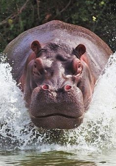 Charging hippo. Hippos are the most dangerous animals in South Africa, killing more people than lion, cheetah, leopard, rhino, buffalo, or elephant.
