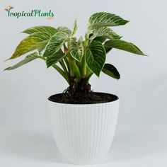 Costa Farms Pilea Peperomioides Sharing Plant in 6 in. Contemporary Planter-6PILEACONTEMP - The Home Depot Small Indoor Plants, Indoor Planters, Planter Pots, Contemporary Planters, Chinese Money Plant, Cheese Plant, Orchid Plants, Rare Flowers, Snake Plant