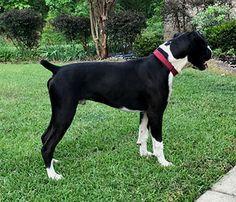 Boxer And Baby, Boxer Love, Black Boxer Puppies, Boxer Breeders, Boxer Bulldog, Alabama, Bambi, Boxers, Bulldogs