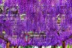 http://i692.photobucket.com/albums/vv289/ewamariasz1/2009/Wisteria2.jpg