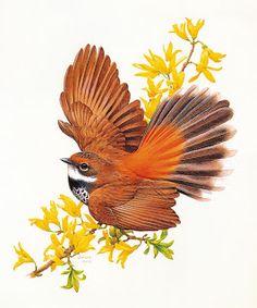 Коллекция картинок: Птицы Австралии. Иллюстратор Deidre Hunt