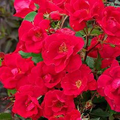 Have the best roses in the entire neighborhood with these tips!  #Garden