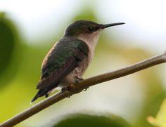 hummingbird   Vervain Hummingbird (Mellisuga minima) Lateral view of perched bird