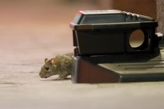Humans stay home because of the coronavirus. Some rats follow Glue Traps, Asian American, Food Waste, Food Containers, Rodents, Pest Control, Mice, Rats, Mammals