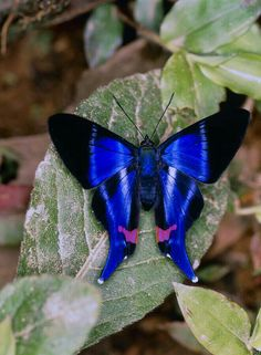 (riodinidae) From Ecuador Photograph by Dr Morley Read krafttier Butterfly Rhetus Sp. (riodinidae) From Ecuador by Dr Morley Read Papillon Butterfly, Butterfly Kisses, Butterfly Flowers, Blue Butterfly, Butterfly Wings, Flying Flowers, Butterflies Flying, Beautiful Bugs, Beautiful Butterflies