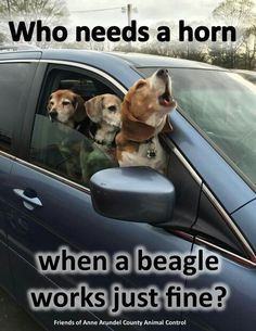 This reminds me of a beagle I used to have. I have to agree-beagles make good sirens or horns or any loud noise!