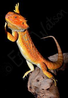 Zingo - Rainbow Citrus Tiger Morph Bearded Dragon
