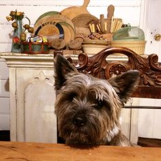 Bossie up at the table! Cairn Terriers, Terrier Dogs, Pet Corner, Cutest Dogs, Lurcher, Dog Things, Wolfhound, Shetland Sheepdog, White Terrier