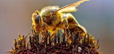 Permaculture: La cause de la mortalité des abeilles enfin résolu...