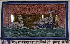 Bodleian Library, MS. Bodley 764, Folio 61r  The coot is an intelligent bird; unlike other birds it does not fly about, but stays in one place. It builds its nest in the middle of water or on a stone surrounded by water. When it sees a storm coming it returns to its nest or dives under the water.