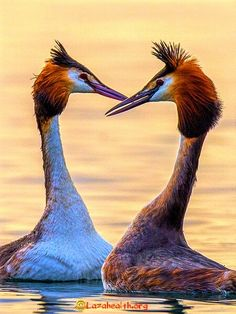 Nature paints the most beautiful masterpieces: Great crested grebe heart Kinds Of Birds, All Birds, Love Birds, Pretty Birds, Beautiful Birds, Animals Beautiful, Exotic Birds, Colorful Birds, Nature Paintings