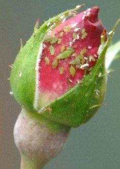 Fabriquez votre insecticide maison bio ! Fabriquez votre insecticide maison bio ! CONTRE LES PUCERONS : - insecticide à l'ail : faire bouillir 1 litre d'eau, versez-la bouillante sur 4 gousses d'ail broyées. Couvrez et laissez reposer 1 heure. Filtrez et pulvériser à froid directement sur vos plants infectés de pucerons.
