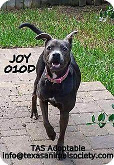 Spring, TX - English Shepherd/Pit Bull Terrier Mix. Meet Joy, a dog for adoption. http://www.adoptapet.com/pet/13070397-spring-texas-english-shepherd-mix