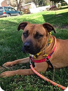 Decatur, GA - Boxer/Bullmastiff Mix. Meet Tucker [Foster Me?] *Snuggly Couch Potato*, a dog for adoption. http://www.adoptapet.com/pet/14236887-decatur-georgia-boxer-mix