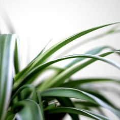 Airplane Plant Care - Also known as spider plant for the small plantlets that grow on runners from the parent plant, airplane plant, (Chlorophytum comosum) is a lush, fast-growing houseplant. The plant has an exotic . Outdoor Plants, Garden Plants, Ivy Plants, Potted Plants, Outdoor Spaces, Container Gardening, Gardening Tips, Indoor Gardening, Indoor Planters