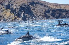 School of over 200 #Dolphins in #Loreto #Baja