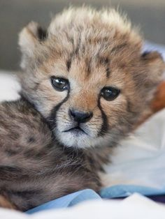 Cincinnati Zoo's Baby Cheetah Cubs Now Have Brother from Another Mother — and He's Adorable! | People