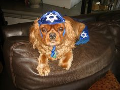 """""""This kippah is making me shvitz. Dog Pictures, Animal Pictures, Psy, Dog Pajamas, Cat Hat, Dog Wear, Family Traditions, Happy Dogs, Cool Things To Make"""